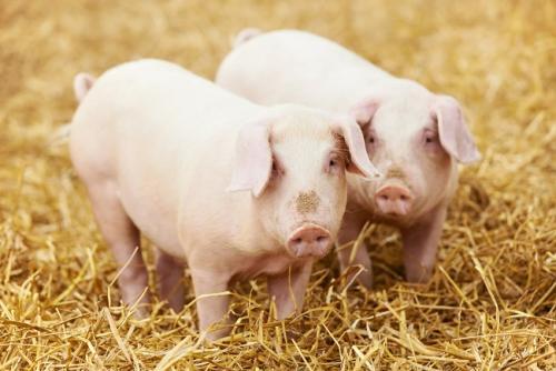 养猪行业运营成本怎么降?看看这个就知道了!